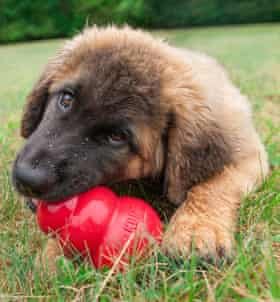 Leonberger puppy chews on a red Kong toy.
