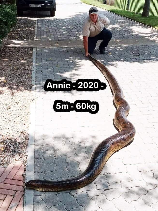 Annie the anaconda pictured in 2020