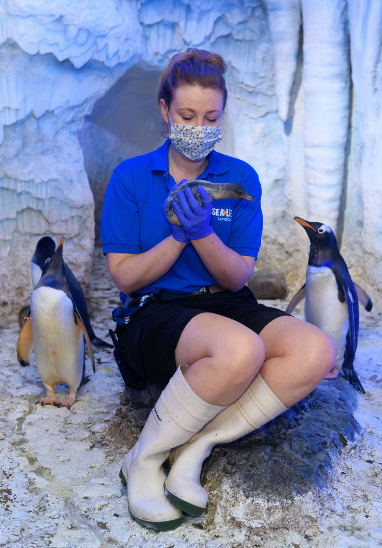 Undated handout photo issued by Sea Life London Aquarium of a keeper holding one of two gentoo penguin chicks successfully bred in England this year, which were born to parents Ripley and Elton following a breeding season that took place during lockdown at the aquarium in London. Issue date: Thursday June 24, 2021. PA Photo. See PA story ANIMALS Penguins. Photo credit should read: SEA LIFE London Aquarium /PA Wire NOTE TO EDITORS: This handout photo may only be used in for editorial reporting purposes for the contemporaneous illustration of events, things or the people in the image or facts mentioned in the caption. Reuse of the picture may require further permission from the copyright holder.