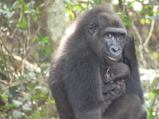 Western lowland gorilla Mayombe holding her newborn baby.