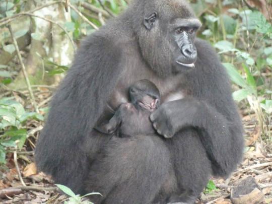 Western lowland gorilla Mayombe holding newborn baby.