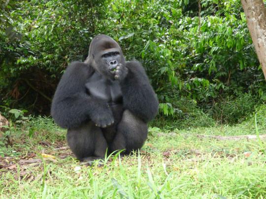 western lowland gorilla Djongo.
