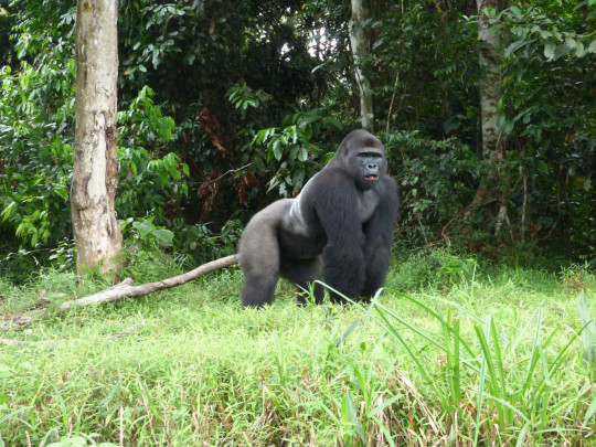 Undated handout photo issued by the Aspinall Foundation of western lowland gorilla Djongo.