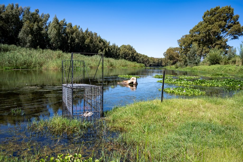 CapeNature staff set cage traps with a dead chicken to lure crocodiles that escaped on 5 March.