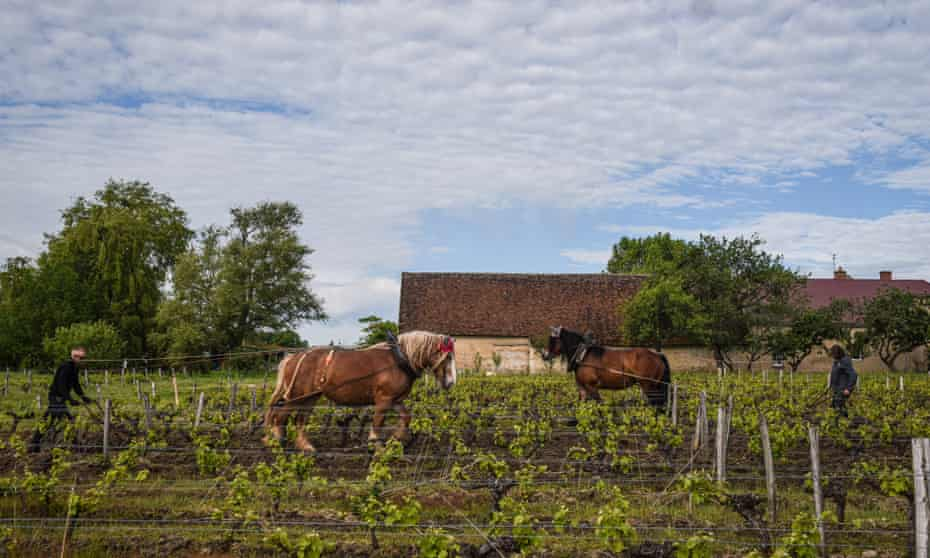 A horse does the weeding among the vines on a vineyard in Tours, France.