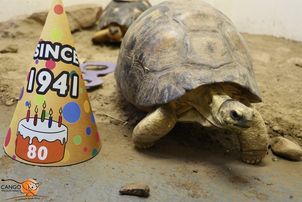 Agatha, a radiated tortoise, celebrated her 80th birthday at Cango Wildlife Ranch with husband Astro, 35.