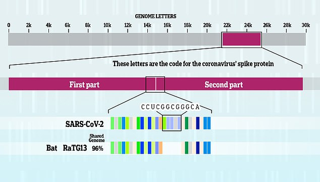 SARS-CoV-2, which causes Covid, carries all the information needed for it to spread in around 30,000 letters of genetic code, known as RNA. But it is the only coronavirus of its type to carry 12 unique letters that allow its spike protein — which it uses to bind to human cells and infect people — to be activated by a common enzyme called furin, which in turn allows it to invade neighbouring cells. The top bar shows the section of the 30,000 letters that accounts for the spike protein (purple). The middle purple bar is the spike protein section, with the white line highlighted being the location of the 12 letters: CCUCGGCGGGCA. The bottom bars show how that specific section of the virus differs ever so slightly to RaTG13, the closest known relative of SARS-CoV-2