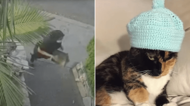 An Uber Eats driver was caught on surveillance video stealing a cat before dropping off a food delivery order (left). The stolen cat is named Hog, 18 years old (right).