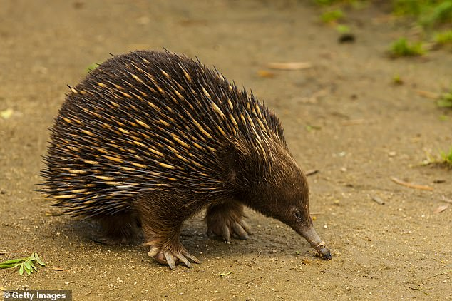 The echidna is native to Australia, has spiky pines, a bird-like beak, a pouch like a kangaroo and also lays eggs.