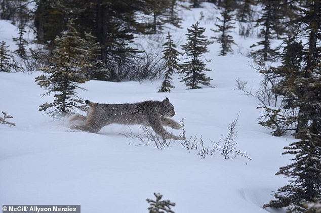 The Canada lynx (pictured) is one of the most elusive big cats in North America. Researchers were able to gain more insight using a Fitbit and a spy mic to capture 14,000 hours worth of audio