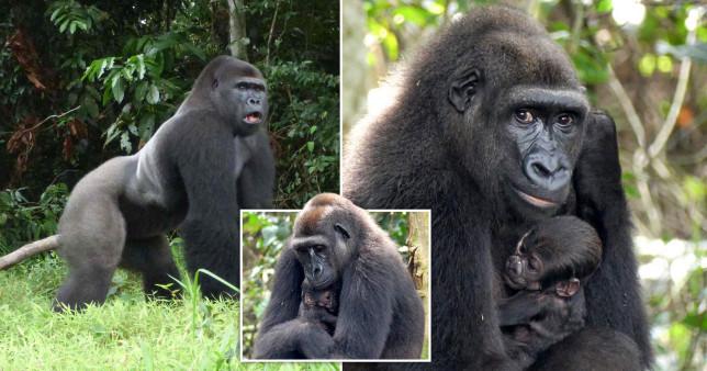 A young gorilla family