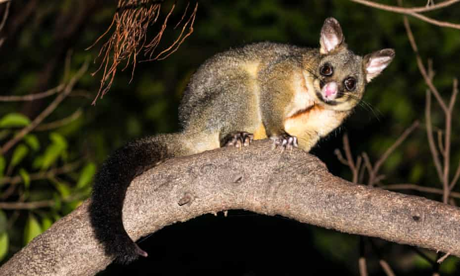 A common brushtail possum on top of a tree at night in Sydney's Royal Botanic Garden