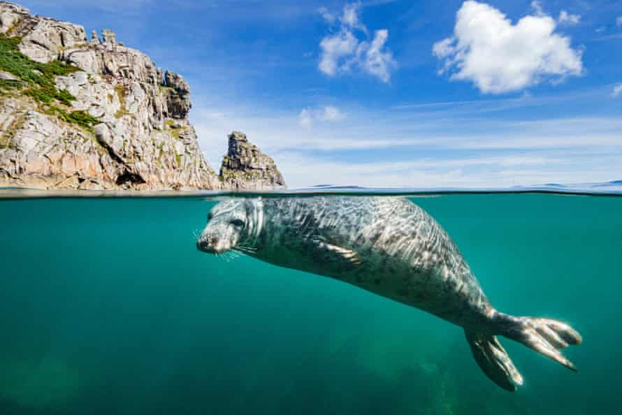 A young grey seal (Halichoerus grypus) swimming at surface beneath cliffs of Lundy Island,