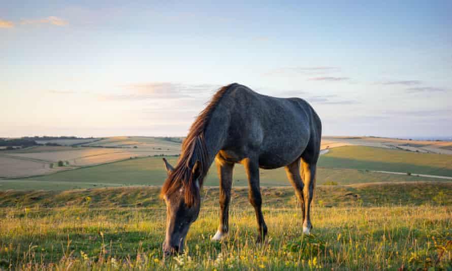 A wild pony grazing on Cissbury Ring.
