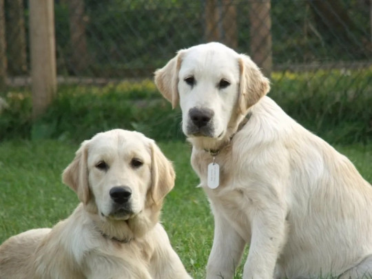 Nicolas Grant-St James, founder of The Dog Whisperer UK, has a collection of adorable Golden Retrievers. Whether it?s playing with them if you don?t have dogs of your own, overcoming a fear, or for a special occasion, you?ll love these canine cuties. From ?60 for 2 hours, thegoldenretrieverexperience.com https://thegoldenretrieverexperience.com/contact-us]