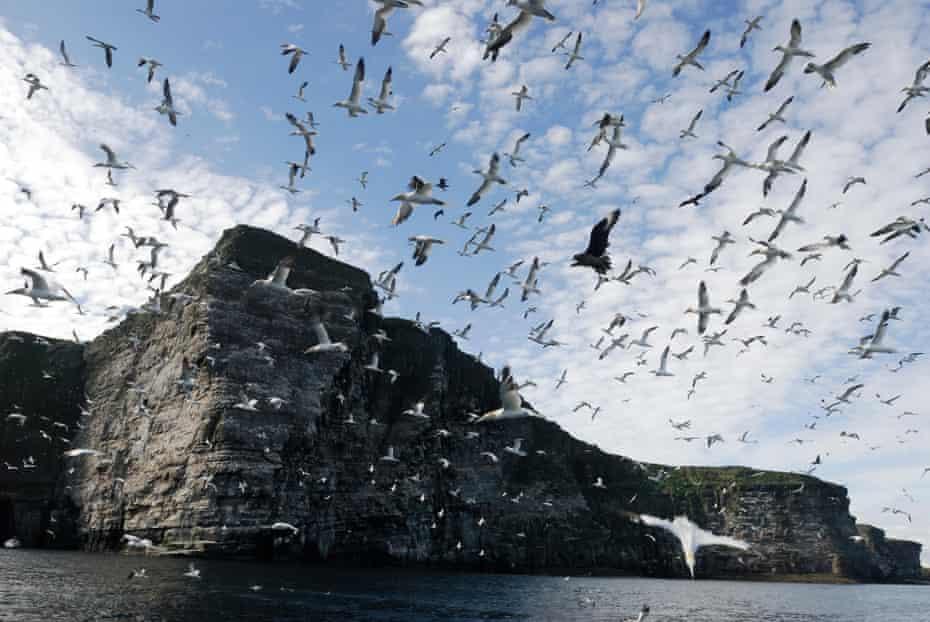 Northern gannet (Sula bassana) flock in flight over nest colony site, Shetland Islands, Scotland, UK. 25 August