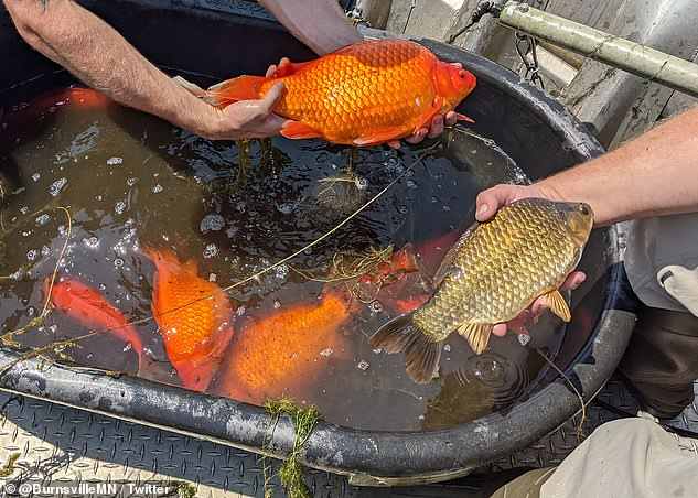 The giant goldfish were once pets of locals, but were released into Keller Lake where they had enough room and food sources to continuing growing