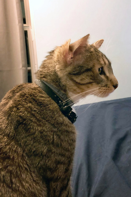 aslanthe4earedcat / CATERS NEWS - (PICTURED He lives in the foster care of Swati Komanduri, an analyst with Columbia in Pennsylvania in the USA) This adorable rescue cat who was born with FOUR ears has found his furever home. Aslan, a domestic shorthair mix, has an extra pair of eras on his head which sit just next to his first pair. But the anomaly doesn't stop him from living a perfect life. Aslan, who is one-year-old, lives with Swati Komanduri, a financial analyst from Pennsylvania in the US. SEE CATERS COPY