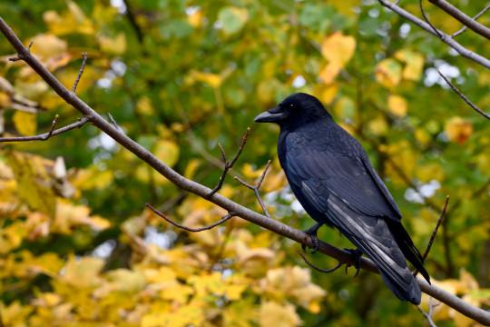 Carrion Crow (Corvus corone) in Hyde Park, London