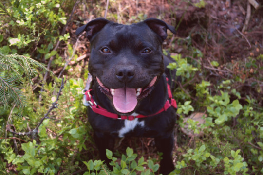 High Angle View Portrait Of Staffordshire Bull Terrier On Field