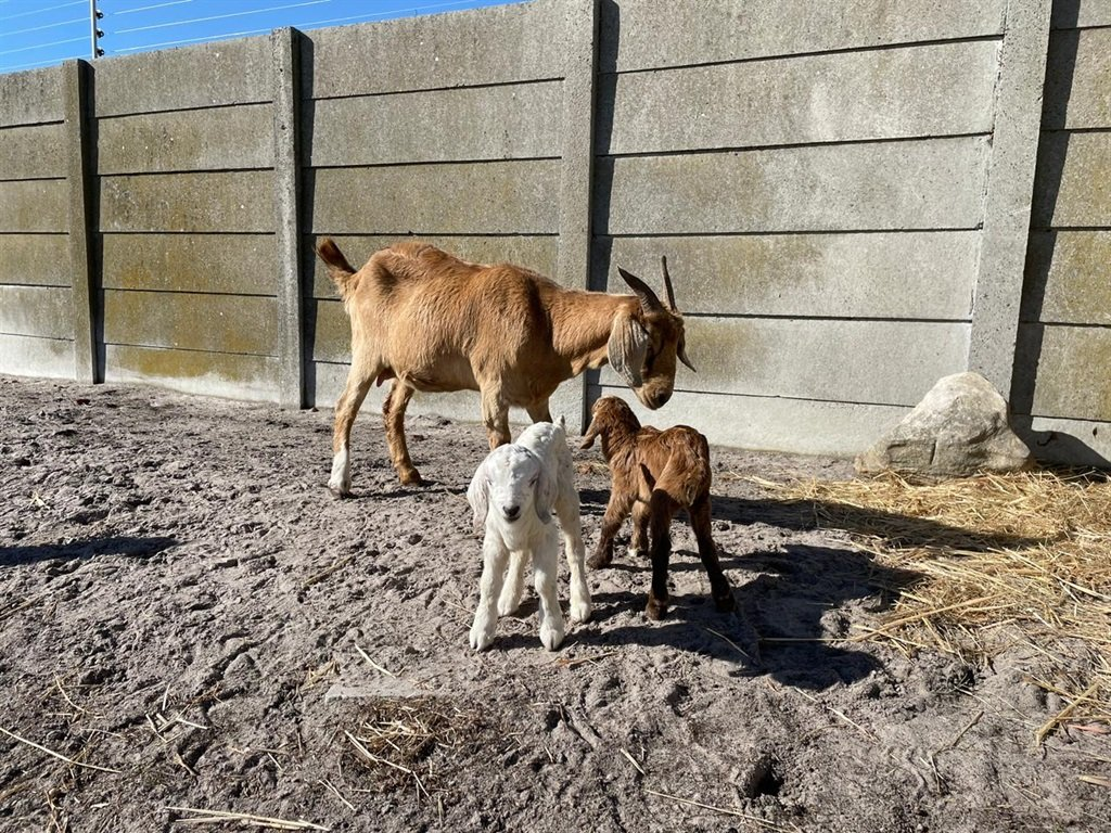 On Thursday morning two little goats were born at the SPCA