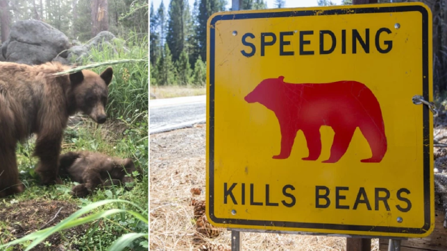A mother bear stood by her cub's side (left) hours after it was hit by a car at Yosemite National Park