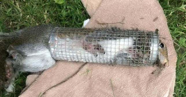 Squirrel stuck in a bird feeder with his head sticking out the top. The RSPCA has warned people to check their bird feeders after the charity had to free a squirrel from one in Northwich, Cheshire.