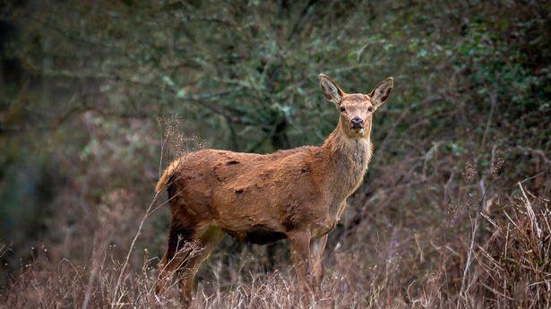 A Red Deer on the Knepp Estate