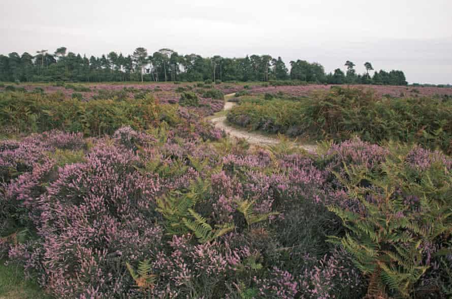 Heathland on Hampton Ridge with Amberwood Inclosure beyond New Forest National Park Hampshire England.