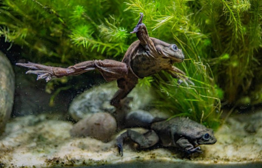 The scrotum frog drifts gracefully through the water
