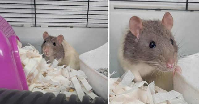 Prince Charming the rat pictured in his cage