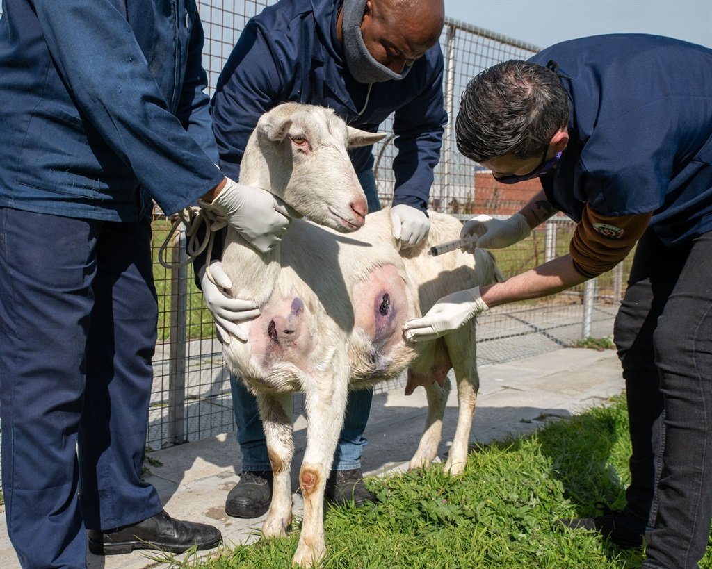 A Cape Town goat that was stabbed five times in the chest and abdomen in Phillipi has been given a news lease on life.
