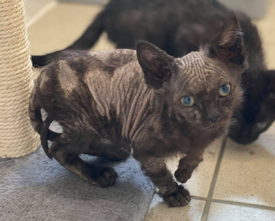 Ducky the kitten on arrival at blue cross when she was suffering badly with ringworm