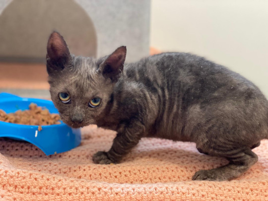 ducky the kitten, who's being cared for by charity blue cross