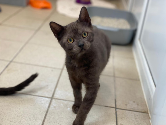 littlefoot the kitten, who's being cared for by charity blue cross