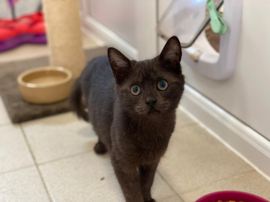 cera the kitten, who's being cared for by charity blue cross