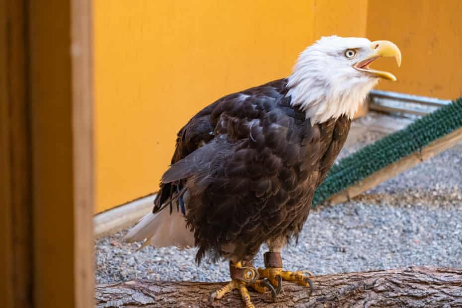 The bald eagle named Em, rescued from the Lake Tahoe Wildlife Care Center, at his temporary home in the California Raptor Center (CRC).