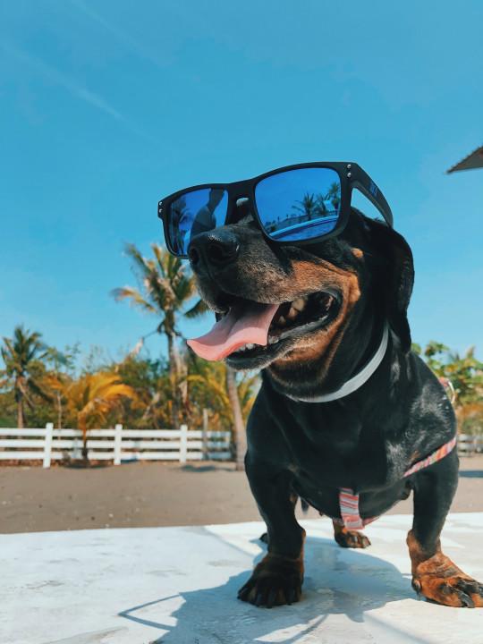 sausage dog in sunglasses