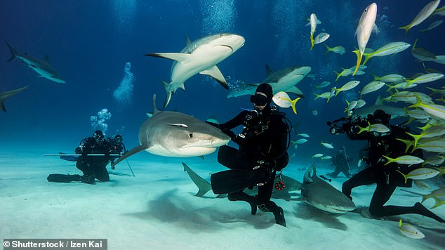 The researchers found that the shark's behaviour did become less social and more random when local dive tourism companies dropped bait into the water.Fortunately, however, the tiger sharks were seen to have a 'take-it-or-leave-it attitude' to the bait — suggesting that the impacts of the feedings are likely only short-lived. Pictured: divers at Tiger Beach