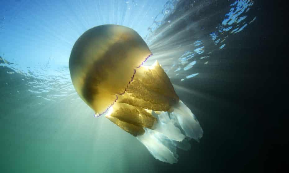 Barrel jellyfish at Swanage Pier .