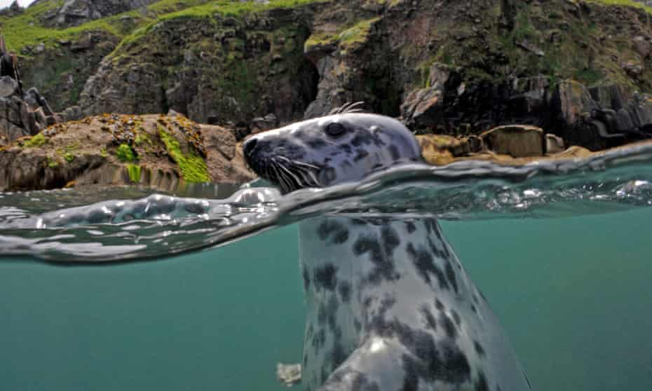 Grey seal off Lundy, UK.