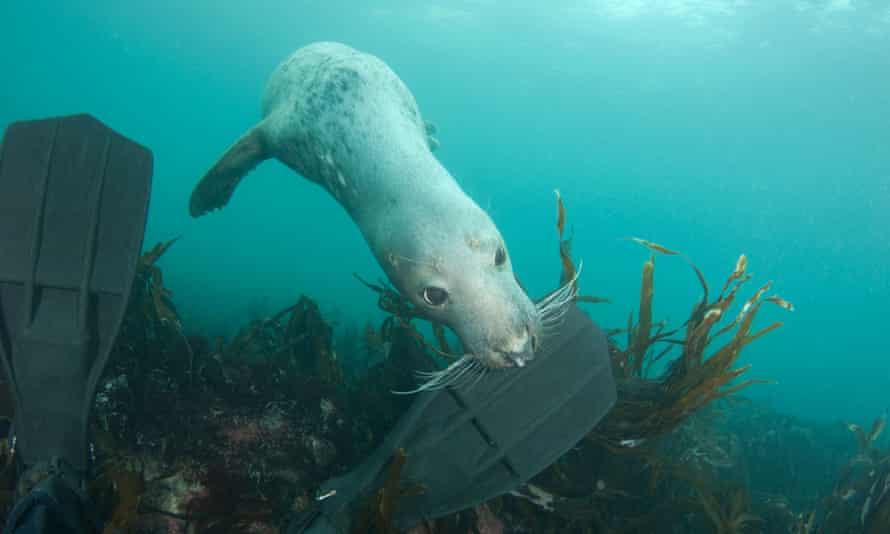 A grey seal nibbles a diver's flippers.