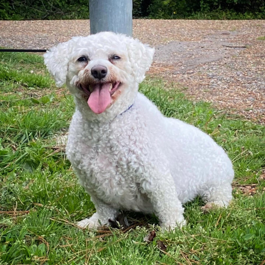 white bichon frise Tommy before his weight loss