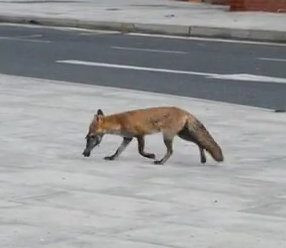 Fox picks off pigeon at 10am in east London