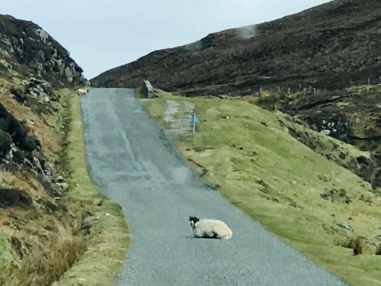 sheep in harris