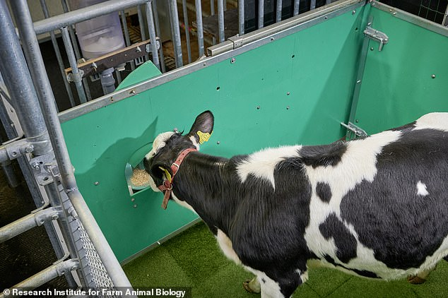 To toilet train the calves, the researchers started by rewarding the animals with a sugar treat (pictured) every time they urinated in the special latrine. The next step involved allowing the calves to enter the toilet enclosure from the outside when they needed to relieve themselves