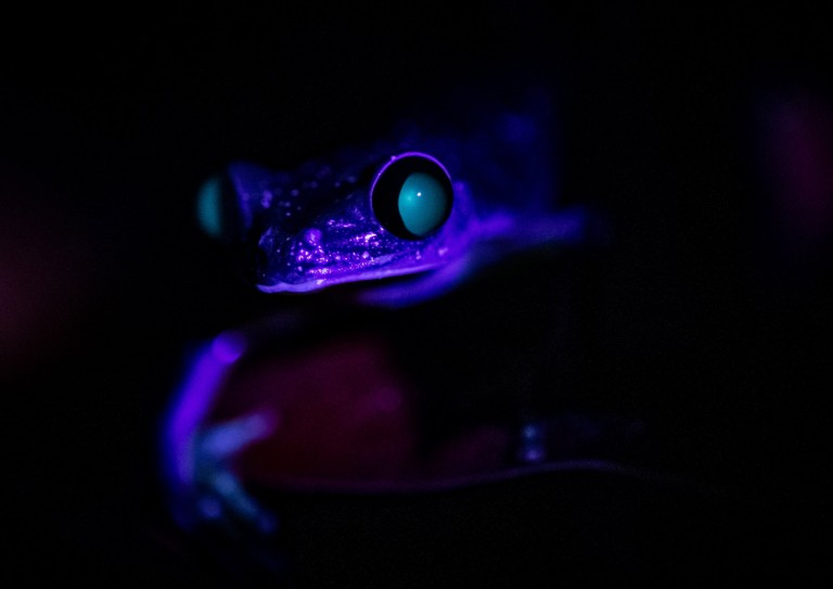 Experts at Chester Zoo have shared a series of ???incredible??? photos showing a selection of reptile, amphibian and invertebrate species ???glowing in the dark.??? The never-before-seen photos, which were taken at the zoo at night, show animals displaying vivid shades of red, blue and green under ultraviolet light. Biofluorescence, the technical term for this spectacle, occurs when higher energy wavelengths of light, like ultraviolet, is absorbed and sent out at a lower energy wavelength, making the area glow. While this phenomenon is widespread among animals and is caused by several different proteins, pigments and chemical reactions in the skin, little is currently known about why it occurs. Now, Dr Gerardo Garcia, Curator Lower Vertebrates and Invertebrates at the zoo, who has led efforts to conserve some of the world???s rarest reptiles, amphibians, fishes and invertebrates over many decades, has offered several theories on why it may happen. ???I have worked closely with many these species for more than 30 years, but never before have I seen them in this way,??? said Garcia. ???Seeing these different animals glow in a spectacular range of colours really is incredible, but the question remains ??? why do they glow? ???Communication is everything in the animal world, and how a species presents itself visually is a big part of how they speak to friends and foes. There are hundreds of frequencies of light and how animals see light, and therefore colours, is different to humans. We actually only see a small portion of the sunlight, so although we may see an animal glowing brilliantly, their own kind, and even other species, may see this completely differently as they read a wavelength that our eyes can???t perceive.??? Dr Garcia says another likely reason for the fluorescent glow is to attract a mate ??? by helping to catch attention of potential partners by highlight their impressive assets. ???The photos show that only some parts of the animals, such a