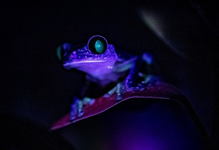 A series of never-before-seen ???glow in the dark??? photos showing reptiles, amphibians and invertebrates displaying incredible colours under UV light have been released by Chester Zoo. See SWNS SWMDglow. Experts at Chester Zoo have shared a series of ???incredible??? photos showing a selection of reptile, amphibian and invertebrate species ???glowing in the dark.??? The never-before-seen photos, which were taken at the zoo at night, show animals displaying vivid shades of red, blue and green under ultraviolet light. Biofluorescence, the technical term for this spectacle, occurs when higher energy wavelengths of light, like ultraviolet, is absorbed and sent out at a lower energy wavelength, making the area glow. While this phenomenon is widespread among animals and is caused by several different proteins, pigments and chemical reactions in the skin, little is currently known about why it occurs.