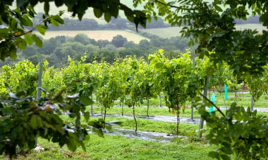Rows of vines at Camel Valley Vineyard near Bodmin