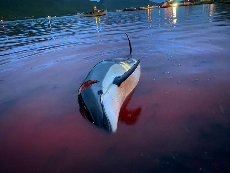 The graphic scene of hundreds of slaughtered dolphins in Sk?lafj?r?ur on the Faroe Islands where according to animal charity Sea Shepherd 1428 Atlantic White Sided Dolphins were caught and killed. The event was the largest hunt of cetaceans ever documented in the Faroe Islands (Kingdom of Denmark) - and possibly the largest hunt in recorded history worldwide. 12th September 2021
